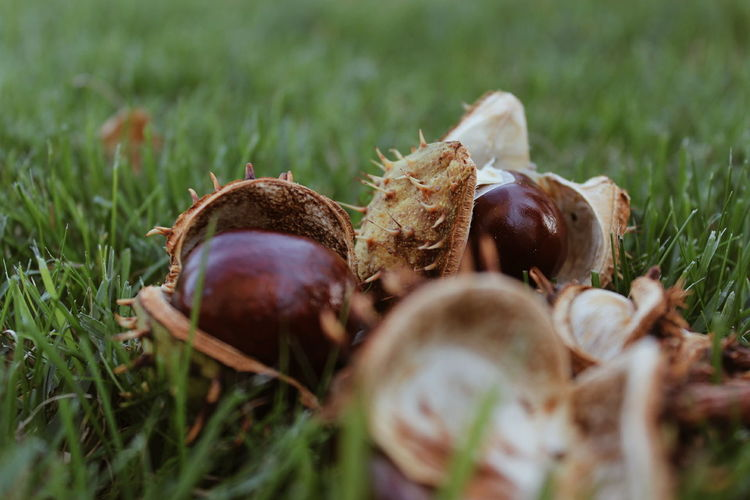 Close-up of chestnuts on field