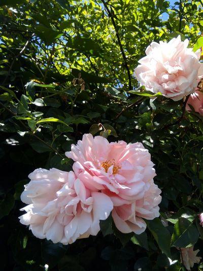Rosa rosa Shrub