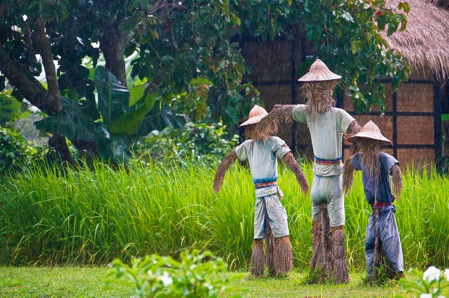 Scarecrow in the rice field. This helps to protect rice plants from all birds. Farmer Scarecrow In The Form Of Rapacious Bird Scarecrows Agriculture Architecture Day Farmer Field Full Length Grass Nature Outdoors People Rear View Rice Field Rural Scene Tree