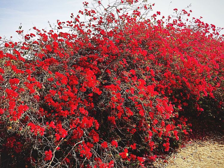 Beautiful red color bush. Loving the nature trail in West Wetlands.✨ Me Alone West Wetlands, Yuma, AZ Nature Trails Park IPhone Photography Plant Life Beauty In Nature Red No People Abundance Nature Close-up Outdoors Sky