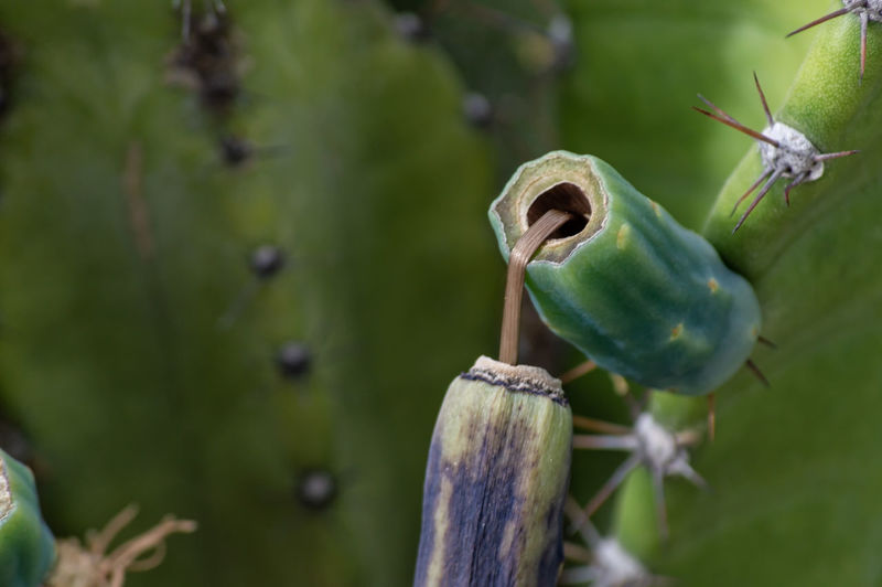 Cactus Beauty In Nature Close-up Focus On Foreground Green Color Growth No People Plant Selective Focus Spiky Wood - Material