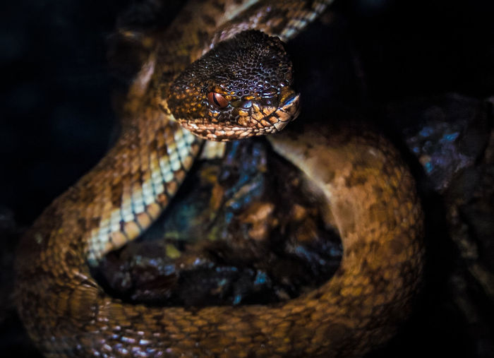 Close-up of an venomous snake captured by phone