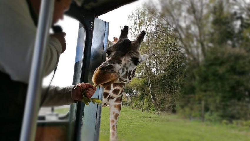 Mammal Animal Themes Day One Animal Outdoors No People Serengeti-Park, Hodenhagen Animals In The Wild Animal Wildlife Giraffe