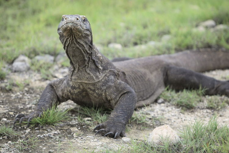 Komodo Dragon On Field