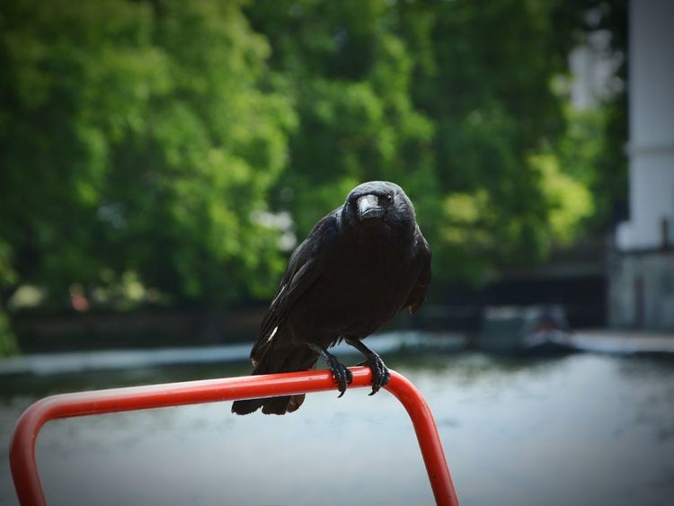 EyeEm Selects bird one animal water no people animal themes day outdoors Raven Little Venice London Nikon D5200 Nikkor 18-105mm EyeEmNewHere EyeEm LOST IN London