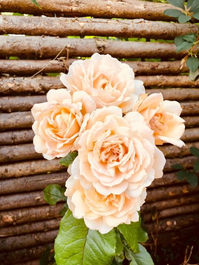 Together. Flower Flowering Plant Plant Beauty In Nature Flower Head Petal Vulnerability  Freshness Rosé Fragility Nature Close-up Rose - Flower High Angle View Outdoors Growth No People