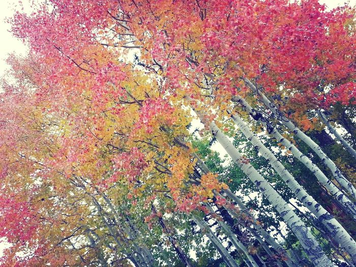 Autumn Leaves TreePorn Kross Filter