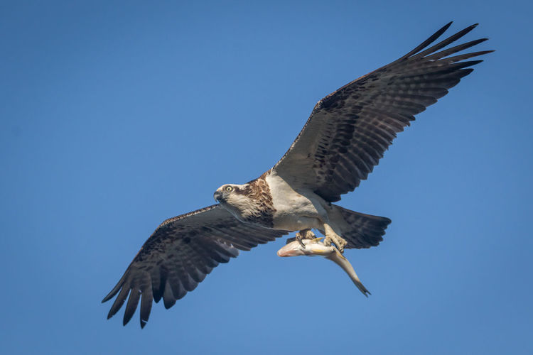 Low angle view of eagle carrying fish in clear blue sky