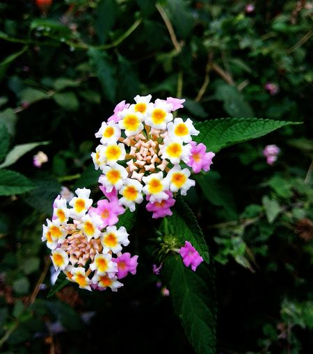 Flower Nature Beauty In Nature Blooming Outdoors Petal Plant Flower Head Close-up Mobilecamerashot Beautylook Tiny Planet Tinyflowers Fragility Lantana Freshness Growth No People Day