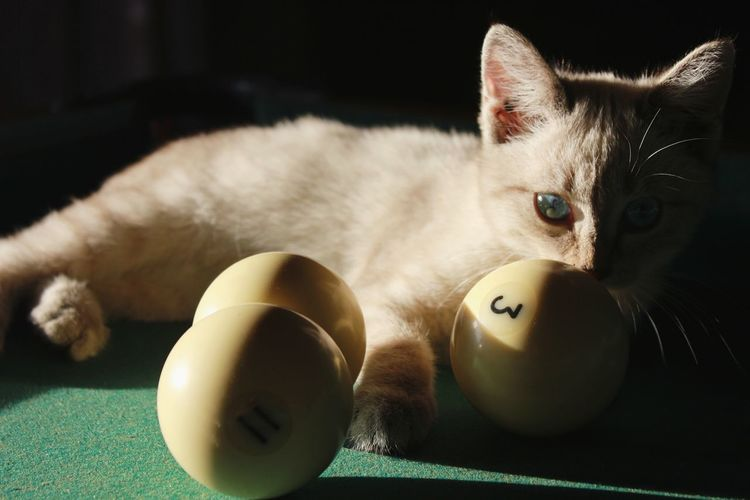 Amateur player EyeEmNewHere EyeEmCatlovers White Cat Kitty Eyes Biliard Pool Ball Number Shadow Green Dark Light Pets Domestic Cat Cute Close-up