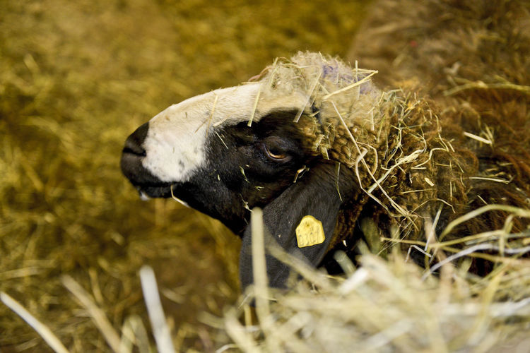 Animal Animal Themes One Animal Vertebrate Mammal Nature No People Selective Focus Hay Barn Sheep Stall Herbivorous Indoors  Farm Agriculture