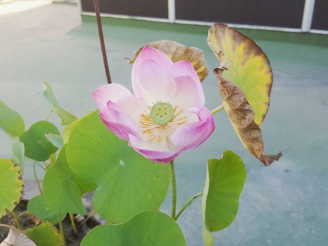 pink lotus♡