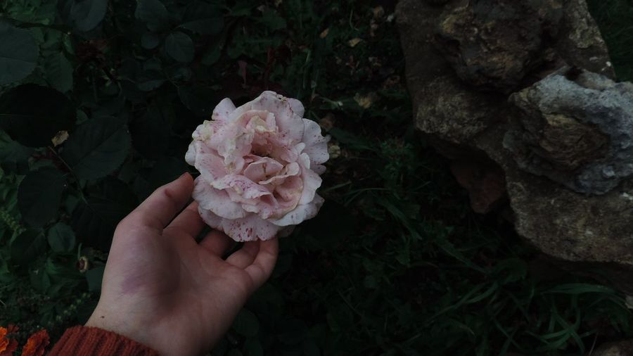 Beauty In Nature Flower Nature Personal Perspective Rose - Flower Single Flower
