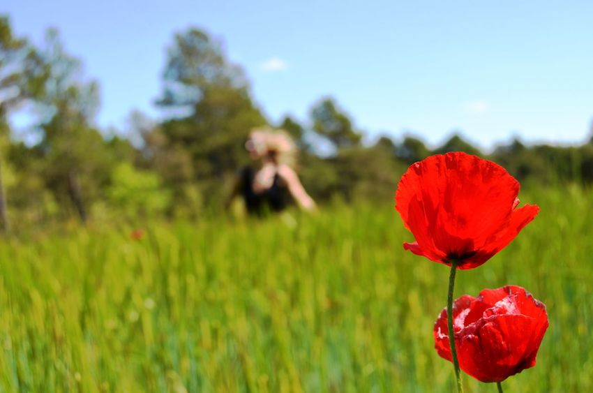 Springtime in the Catalan Countryside Flowering Plant Plant Flower Growth Beauty In Nature Vulnerability  Fragility Freshness Close-up Petal Nature Red Field Focus On Foreground Inflorescence Flower Head Land Poppy Outdoors Inspiration Beautiful Beautiful Nature Nature Spring Springtime