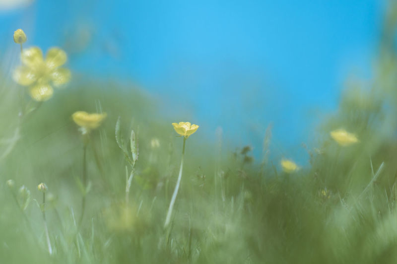 Close-up of yellow buttercups blooming on grassy field