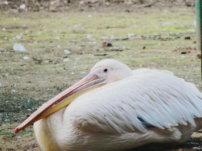 Meditating Swan Quiet Environment Animals In The Wild Animal Wildlife Bird No People First Eyeem Photo