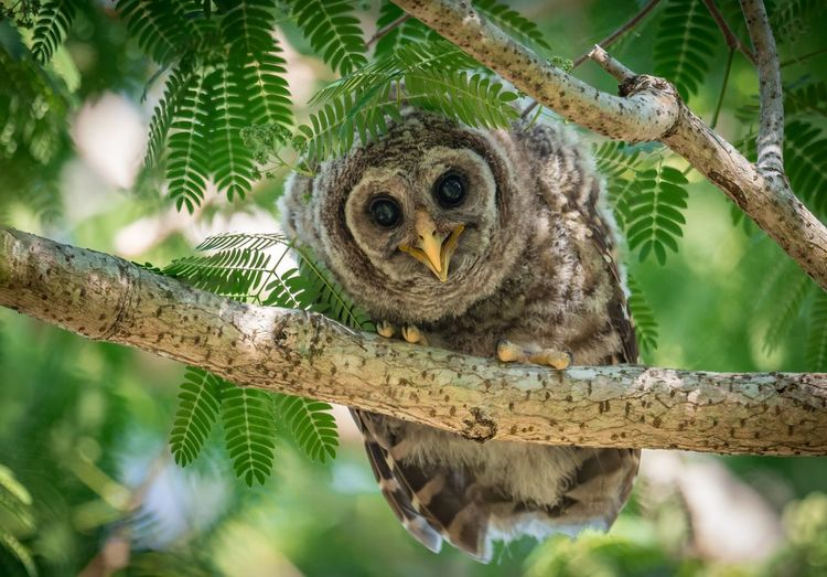 Barred owlet Florida Chixk Baby Owlet Barred Tree Animal Animal Themes Branch Animal Wildlife Animals In The Wild Plant No People One Animal Vertebrate Day Nature Owl Bird Of Prey Bird Portrait Outdoors Tree Trunk Trunk Close-up