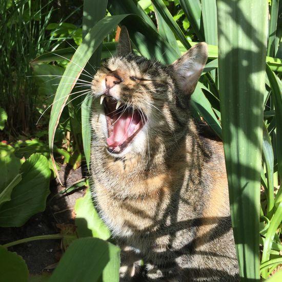 Pet Portraits Animal Themes One Animal Domestic Cat Feline Pets Yawning IPhone Aarhus Denmark Cat Catbliss Lunathecat BestCatfriendEver