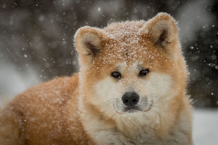 Close-up portrait of akita dog in snow