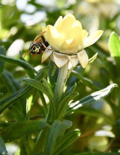Wasp Plant