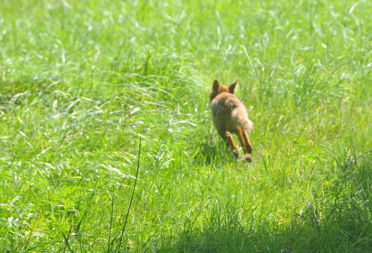 France Sunlight Day Fox Fox On The Run Grass Green Color Nature No People One Animal