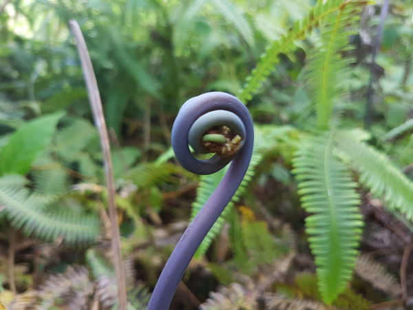 Growth Growth And Regeneration Koru Maori Beauty In Nature Fern Born Nine Number Number Nine Number 9 9 Nine EyEmNewHere Eyem Nature Lovers  Hawaii Big Island Big Island Hawaii Plant Nature Spiral No People Growth Focus On Foreground Outdoors Day Green Color Close-up Beauty In Nature Fragility