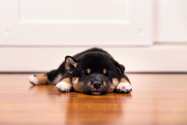 Black and tan shiba inu puppies sleeping on the wooden floor