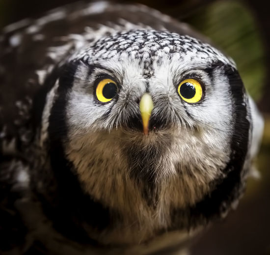 close up of a owl Alertness Animal Themes Animal Wildlife Animals In The Wild Beak Beauty In Nature Bird Bird Of Prey Close-up Day Focus On Foreground Hawk Looking At Camera Nature No People One Animal Outdoors Owl Portrait Yellow Eyes