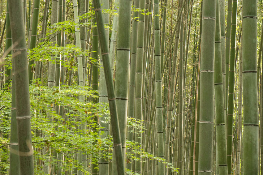 Backgrounds Bamboo - Plant Bamboo Grove Beauty In Nature Day Forest Freshness Green Color Growth Nature No People Outdoors Plant Tree Tree Trunk