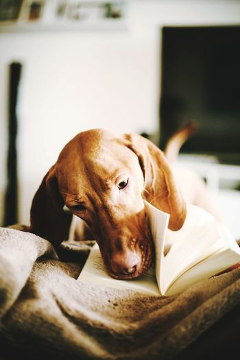 Close-Up Of Dog With Book Lying Down On Bed At Home