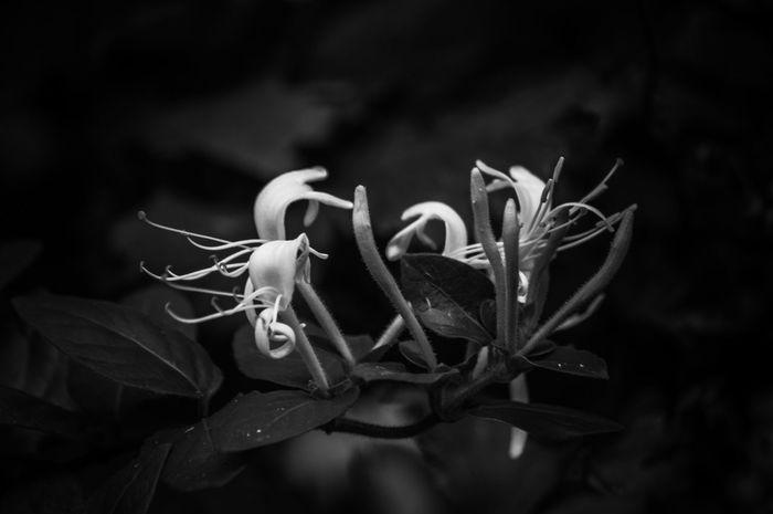 EyeEm Nature Lover Honysuckle EyeEm Selects Flower Black Background Flower Head Close-up Plant Plant Life Perfume Flowering Plant