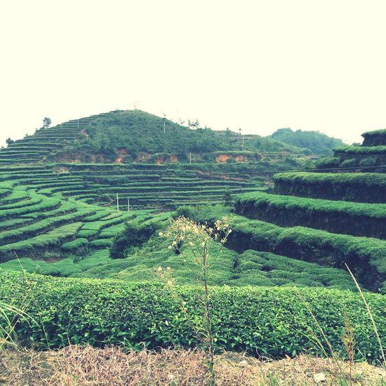 hill of tea trees