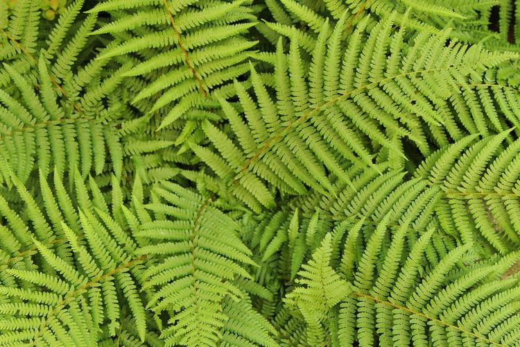 Full frame shot of fern leaves