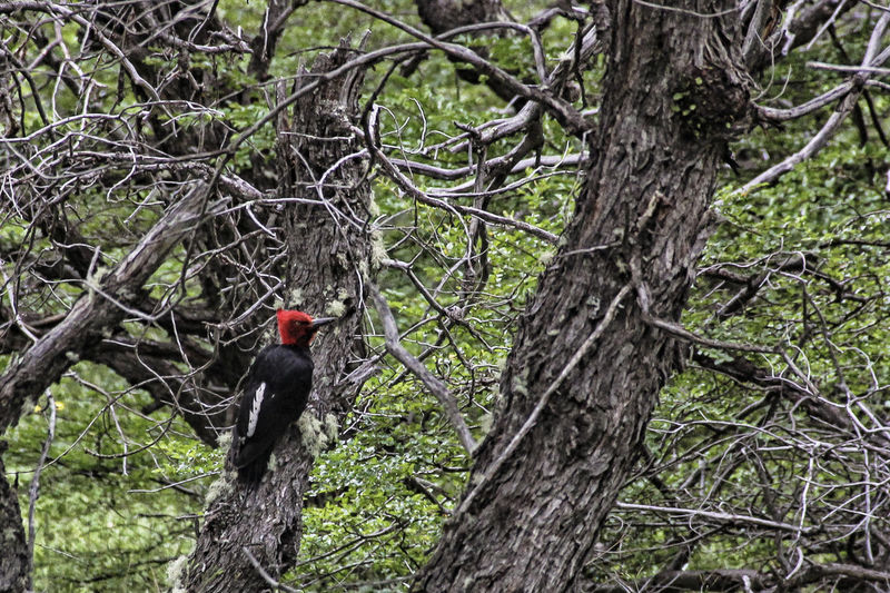 Tree Plant Animal Themes Animal Animal Wildlife Animals In The Wild One Animal Vertebrate Land Forest Nature Tree Trunk Branch Trunk Bird No People Day Perching Outdoors Mammal Woodpecker