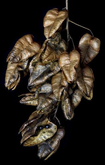 Black Background Close-up Dry Fragility Leaf Nature Plant Seeds Wilted Plant