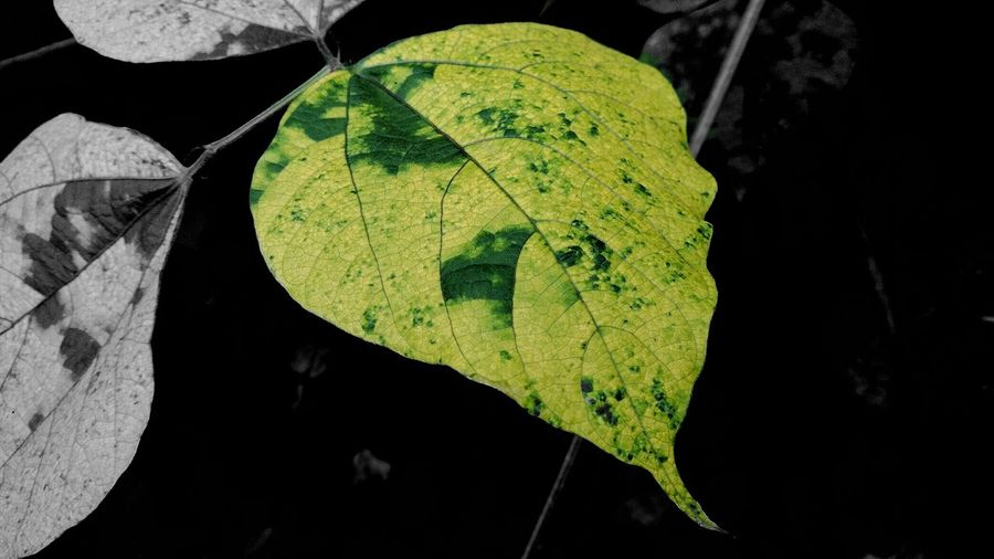 Edited By Me Leaf Vein Close-up Leaf Nature Tranquility Beauty In Nature Malephotographerofthemonth IMography EyeEm Nature Lover Eyeem Market Getting Creative EyeEm Gallery No People EyeEm Incredible India Hobby Editing Thanks All My Friends Around Eyeem Mobile_photographer Hobby💛 Always Find A Reason To Smile Good Day To All Of You... With Love From India💚 truly...urs... Nitin
