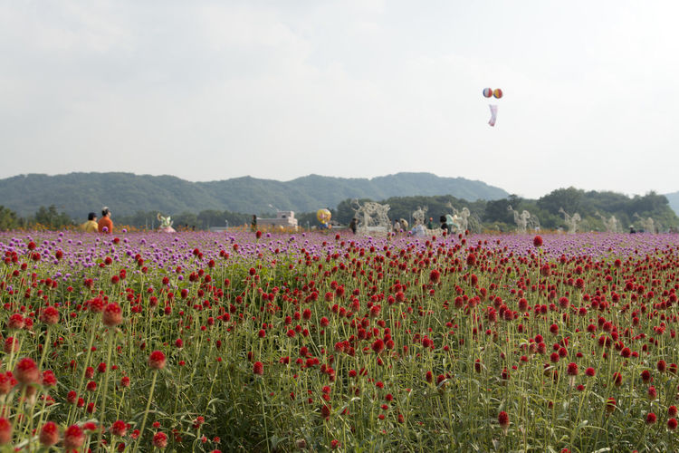festival of globe amaranth flower with bellvedere at Nari Park in Yangju, Gyeonggido, South Korea Globe Amaranth Flower Beauty In Nature Day Field Flower Fragility Freshness Globe Amaranth Grass Growth Landscape Men Mountain Nature Outdoors People Plant Poppy Real People Sky Togetherness Two People
