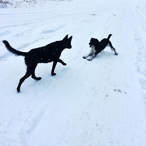High angle view of black dogs on snow