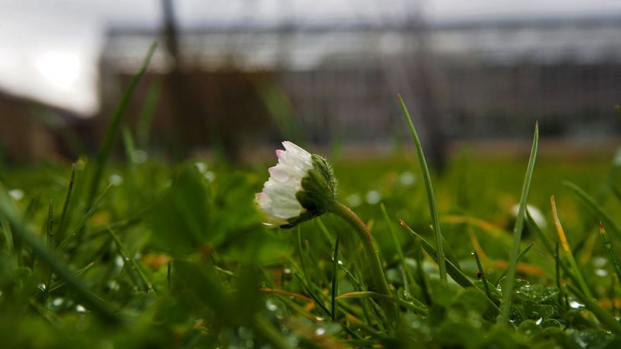 Rainy Days 🌧☂️ Flower Flower Head Flower Collection EyeEm Nature Lover Beauty In Nature Close-up Day Flower Freshness Grass Green Color Growth Nature No People Outdoors Plant Fragility