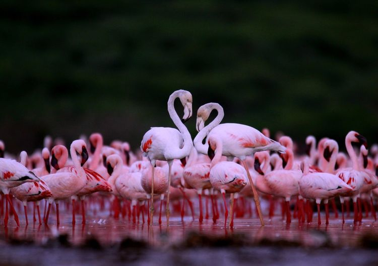 love Flamingo Africa Wildlife Water Animal Pink Color Flock Of Birds Beauty In Nature Large Group Of Animals Animal Wildlife Animals In The Wild
