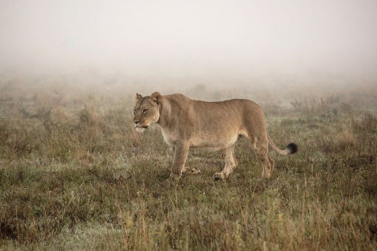 A lion appearing out of the morning mist and passed by our car not caring about us. Impressive! Animal Themes Beauty In Nature EyeEm Nature Lover Foggy Morning Grassy Grazing Landscape Leo Lion Mammal Morning Mist Original Experiences Passing By Tranquil Scene Tranquility Wild Wildlife On The Way My Year My View The Great Outdoors - 2017 EyeEm Awards