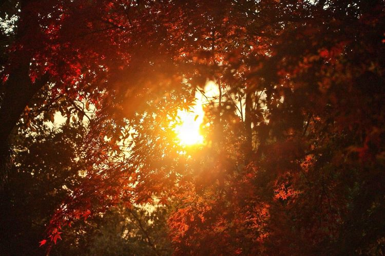 Sun Autumn Leaves Sunset Autumn Color Red Color Beauty In Nature Low Angle View Nature Outdoors No People