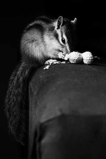 Some snack Bnw_friday_eyeemchallenge Bnw_pets Chipmunk Close-up Cute Domestic Domestic Animals Food Mammal One Animal Peanut Pets Squirrel