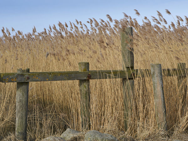 Dangast Reed Woodfence