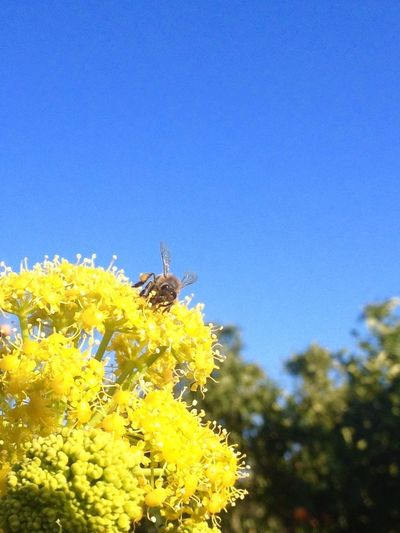 Showcase March Springtime Yellow Flower Blue Sky Nature Photography Bee Happiness Collecting Nectar Bee On The Flower