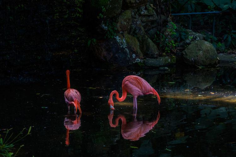 Flamingos and