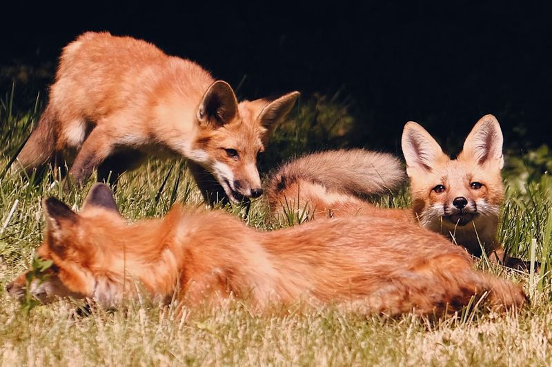 Foxes Fox EyeEm Selects Animal Animal Themes Mammal Group Of Animals Vertebrate Animal Wildlife Young Animal Grass Land Nature No People Animals In The Wild