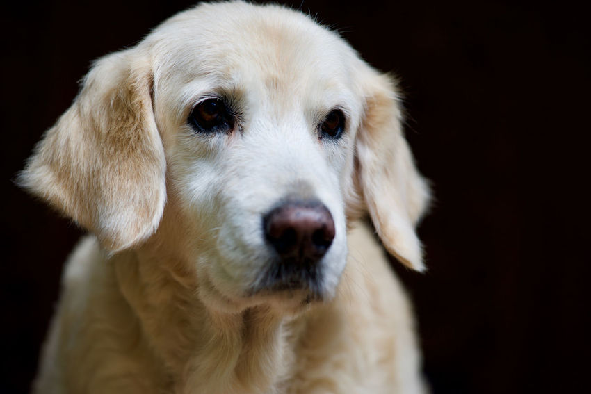 unconditional love EyeEm Selects Blonde Copy Space Golden Retriever Adorable Animal Animal Body Part Animal Head  Animal Themes Bokeh Canine Close-up Cute Dog Domestic Animals Faithful Fluffy Furry Looking At Camera Loyalty Mammal No People One Animal Pets Portrait Retriever