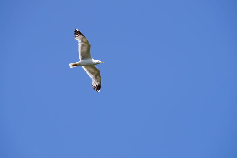 Flying Animal Wildlife Animals In The Wild Low Angle View Animal Sky Spread Wings One Animal Blue Clear Sky Bird Seagull Outdoors Animal Themes Day Ouranoupolis