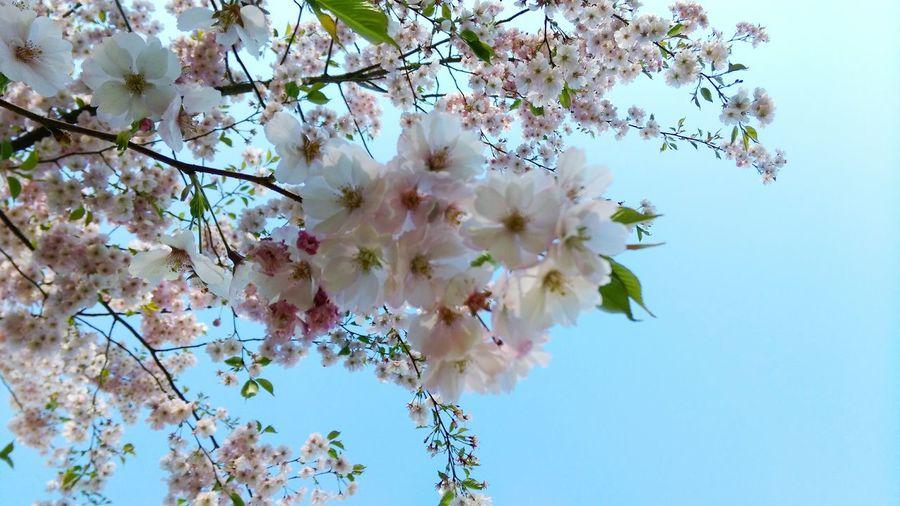 Sakura Latvia First Eyeem Photo